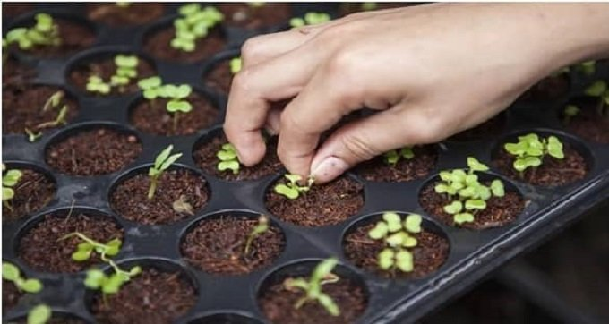Plant Autoflowering Seeds Early and Late