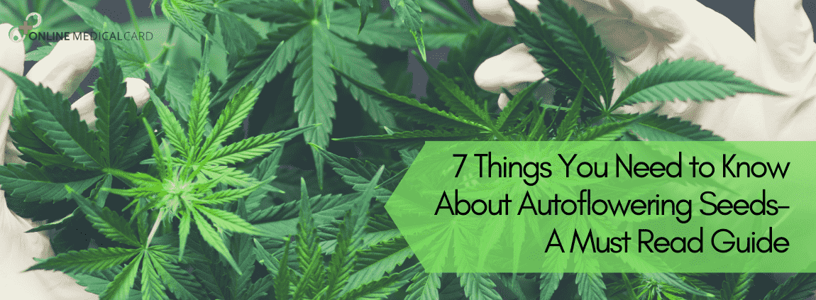 7 Things You Need to Know About Autoflowering Seeds A Must Read Guid