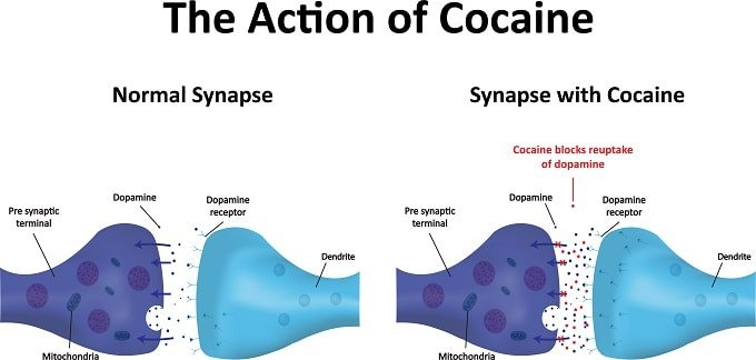 Action of cocaine