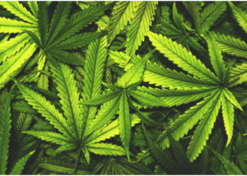 Cannabis Market and Research Trends