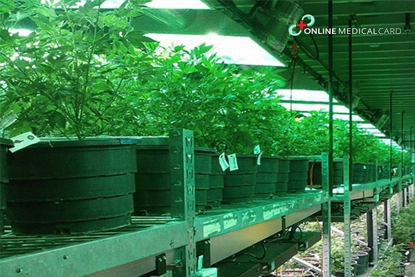 Growing your Own Auto-flowering Cannabis