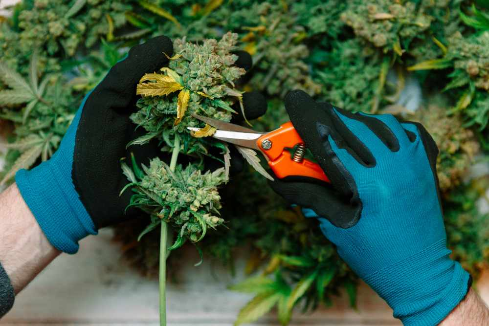 Cannabis Edition