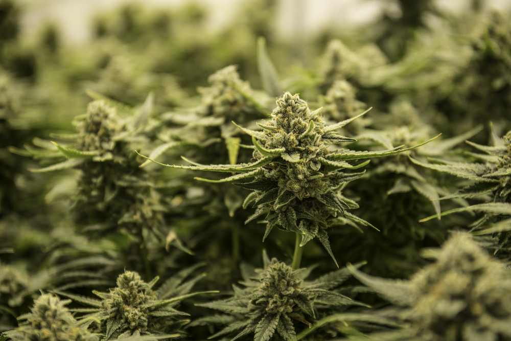 Cannabis grower License