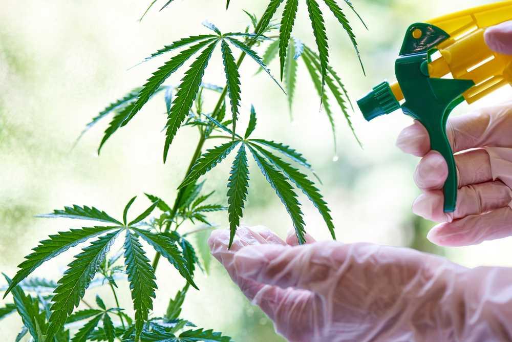 License to Grow 99 Marijuana Plants in California