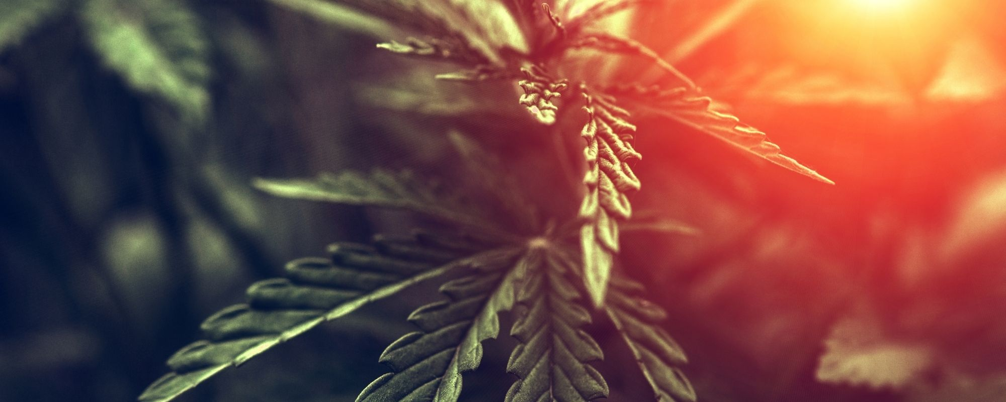 Commission on Narcotic Drugs Removes Cannabis From the Schedule IV Category