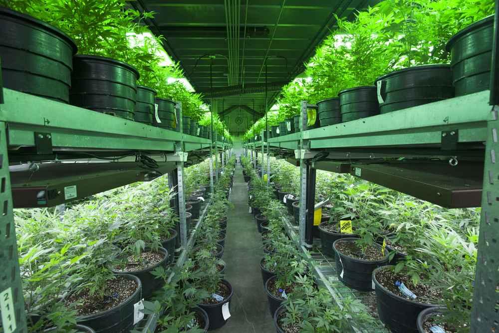 License to Grow 99 Marijuana Plants